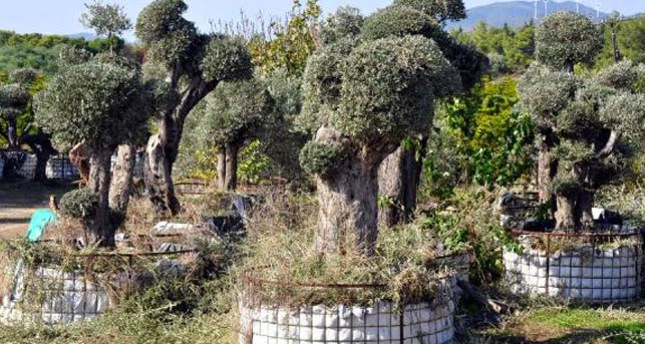 Villagers victorious in fight for olive trees