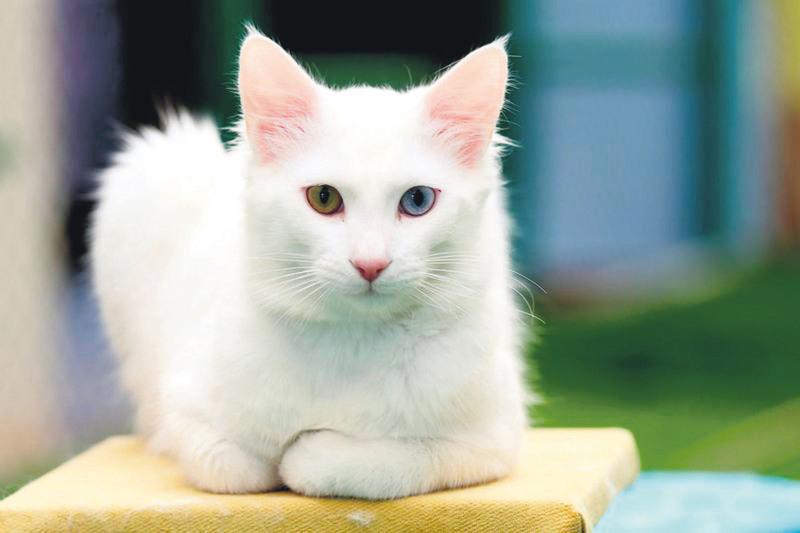Special shelter established for Turkish Van cats | Daily Sabah