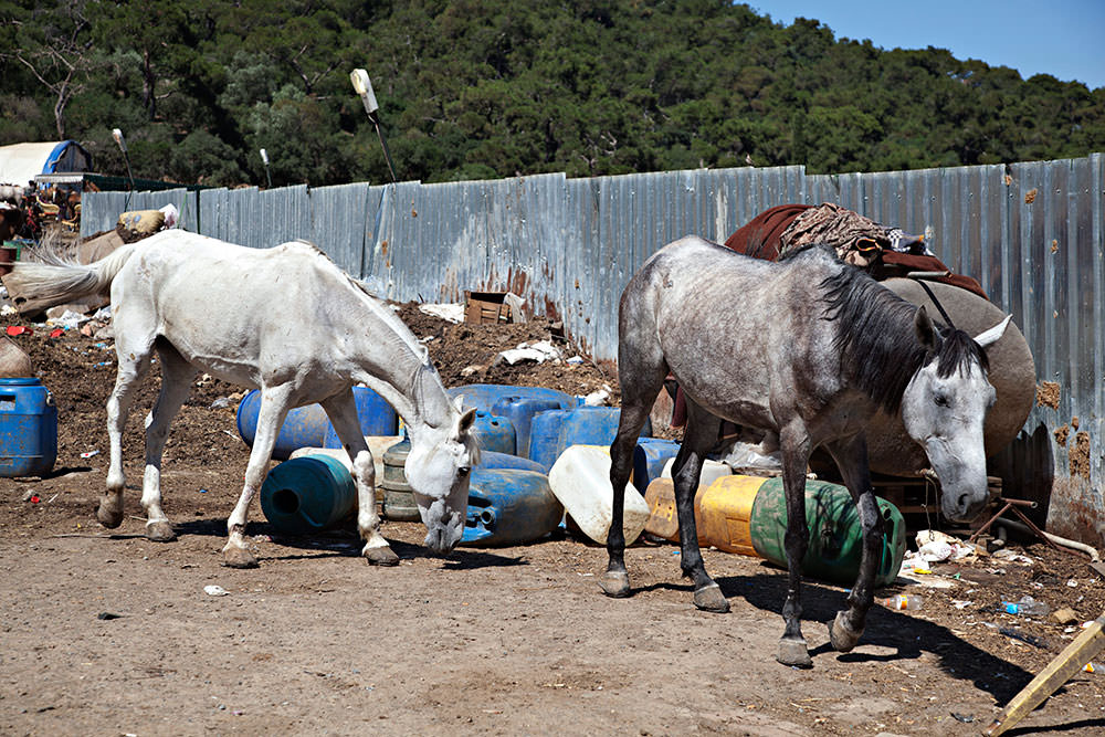 Most horses brought to the island are not fit for pulling the carriages, live in poor conditions, often without medical inspection (Sabah Photo)