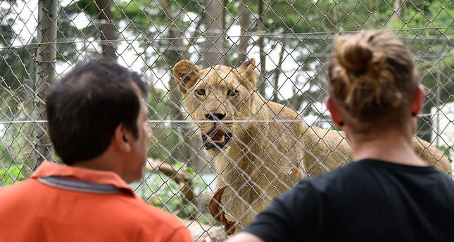 Visitors look at a lion, bought in South Africa, in an enclosure at Abidjan Zoo, on March 10, 2015 (AFP Photo)