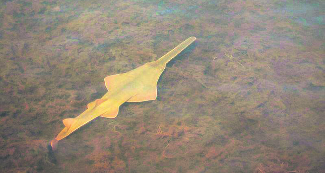 Scientists document Florida 'virgin births' of endangered sawfish