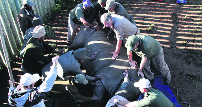 South African veterinarians intervene to save Hope the rhino