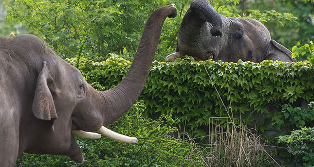 Elephant Voi Nam (L) is greeted by fellow Naing Thein at the zoo in Leipzig, eastern Germany, on May 8, 2015 (AFP Photo)