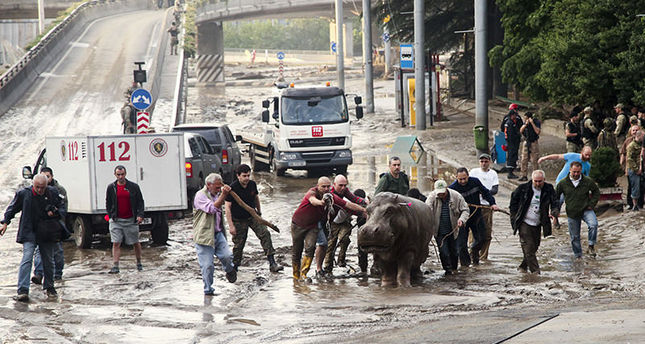 People help a hippopotamus escape from a flooded zoo in Tbilisi, Georgia, Sunday, June 14, 2015 (AP Photo)
