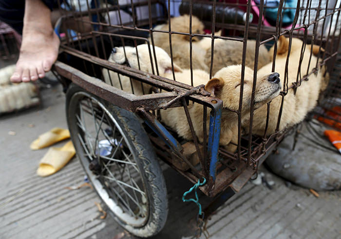 Dogs for sale are kept in a cage in Dashichang dog market on the day of local dog meat festival in Yulin, Guangxi Autonomous Region, June 22, 2015 (Reuters Photo)
