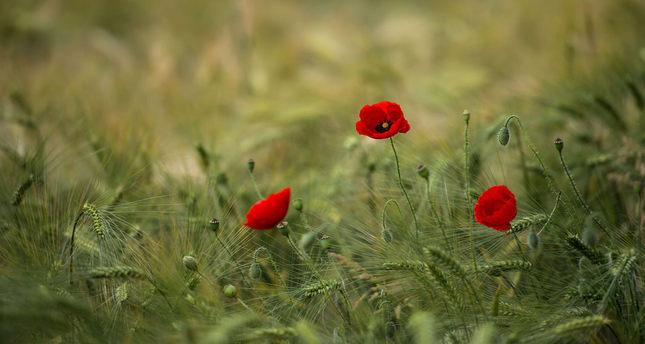 Scientists crack gene secret that lets poppies make morphine