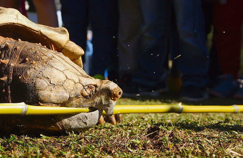 Leonardo, an alligator snapping turtle weighing 45 kilos, demonstrated his jaw-dropping strength by snapping a piece of bamboo at the Australian Reptile Park in Gosford, NSW 2 July 2015 (EPA Photo)