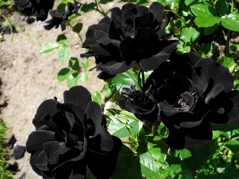 Image result for black rose