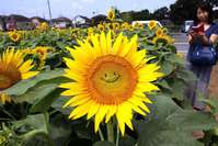 A general view shows a smiling sunflower in a field in Tokyo. Some 20,000 sunflowers were enjoyed by visitors to the area.
