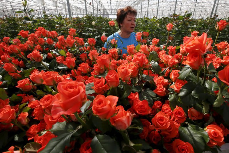 An employee works with roses at the ,Podosinki, greenhouse complex in the village of Orudyevo north of Moscow.
