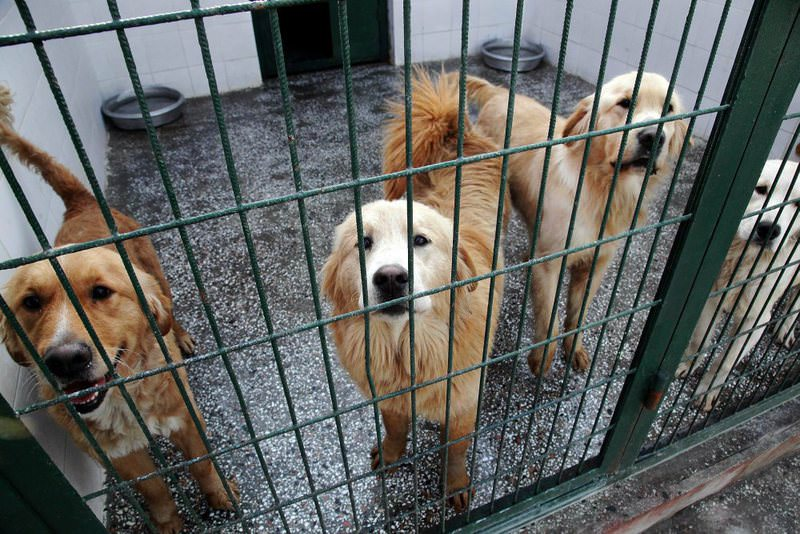 Golden retrievers in an animal shelter in Istanbul's Bau015faku015fehir district.