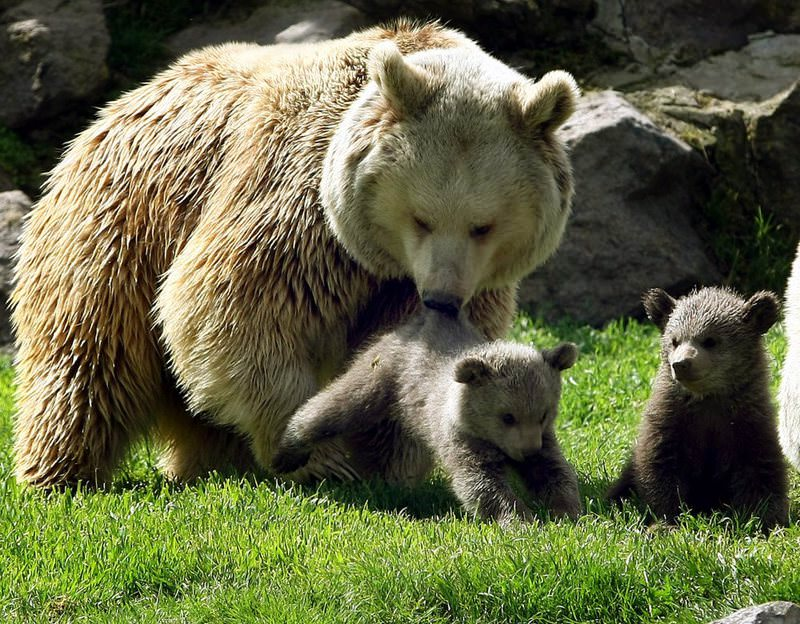 A brown bear and its cubs in their natural habitat inside Atatu00fcrk Forest Farm in the capital Ankara.