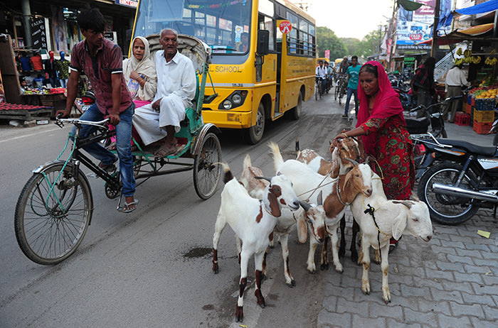 An Indian Muslim woman leads her goats for sale at a market ahead of Eid al-Adha in Allahabad on September 22, 2015 (AFP Photo)
