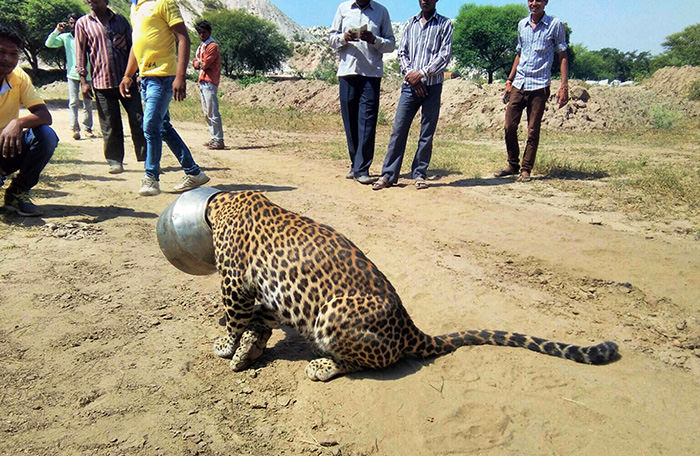 People stand around a leopard with its head stuck in a vessel in Rajsamand district of Rajasthan state, India, Wednesday, Sept. 30, 2015 (AP Photo)