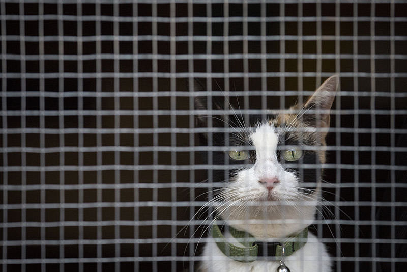 A cat is pictured in a cage at The Cat's Meow, a so-called cat cafe, in the Brooklyn borough of New York, September 19, 2015 (Reuters photo)