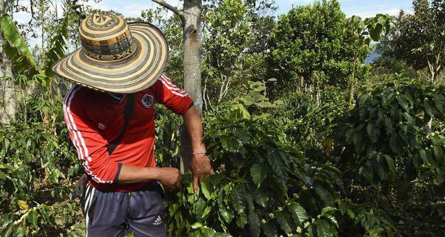 A peasant checks coffee beans at La Tola plantation, El Tambo, Narino Province.