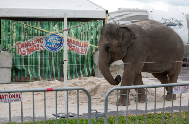 Friday, Jan. 8, 2016 photo of a young Asian elephant named April belonging to Ringling Bros. and Barnum & Bailey Circus, plays in the sand in her enclosure outside the American Airlines Arena in Miami.   AP Photo