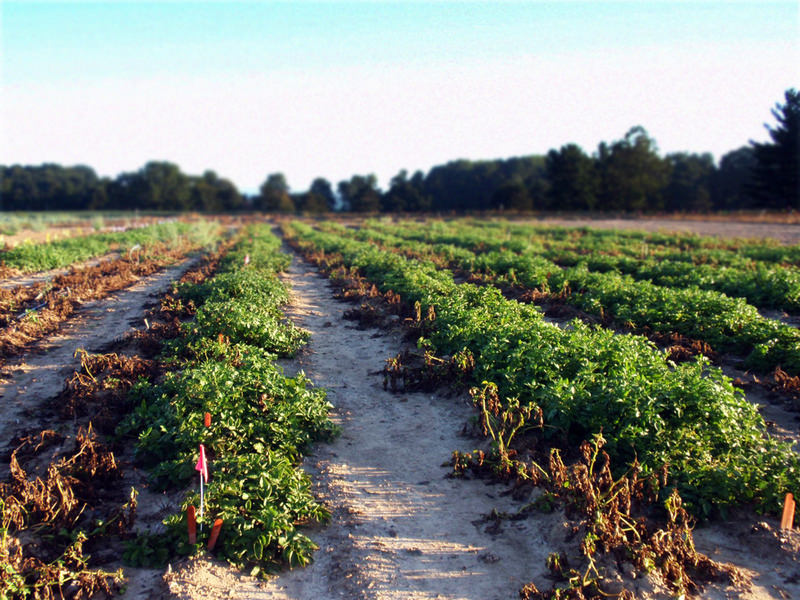 A demonstration field of the new potato, genetically engineered to resist the pathogen that caused the Irish Potato Famine, at Michigan State University in East Lansing, MI.