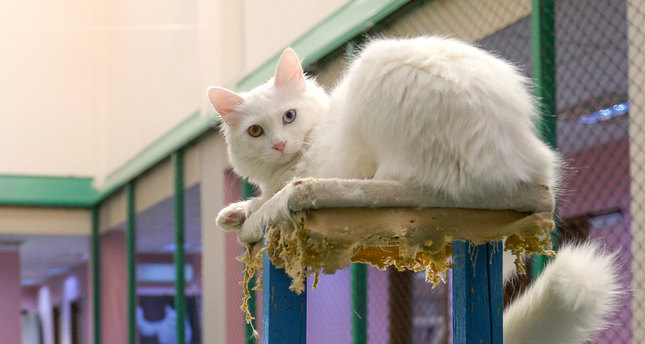 c89e0cc13c More Turkish Van kittens expected this year - Daily Sabah