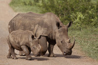hinos walk in the Hluhluwe game reserve South Africa (AP Photo)