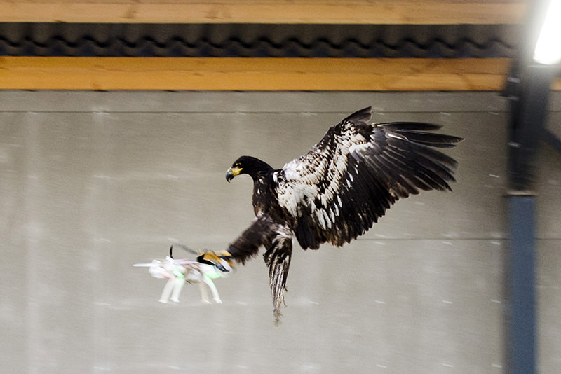 An eagle is seen gliding straight toward a drone before clutching it and dragging it to the ground in Rotterdam, Netherlands January 29, 2016. (REUTERS Photo)