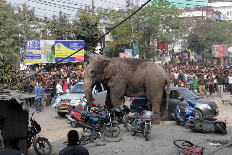 A wild elephant that strayed into the city and went on rampage is watched by the locals in Siliguri, India, 10 February 2016 (EPA Photo)
