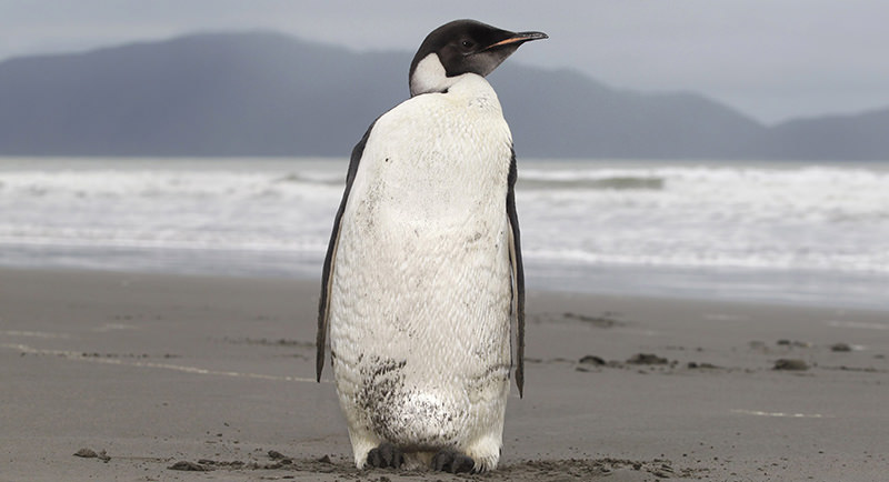 In this June 21, 2011 file photo, an Emperor penguin is seen on Peka Peka Beach of the Kapiti Coast in New Zealand (AP Photo)