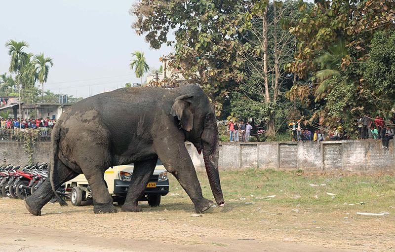 A wild elephant walks through Indian town of Siliguri on February 10, 2016. (Representational photo: AFP)