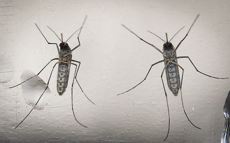 A photo made available 15 February 2016 dated shows a mosquito 'Aedes aegypti', that transmit the Zika virus. (EPA Photo)