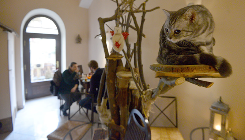 his file photo taken on March 13, 2016 shows a cat sitting on a perch at the cat cafe Kocicu00ed Kavarna, on March 13, 2016 in Prague. (AFP Photo)