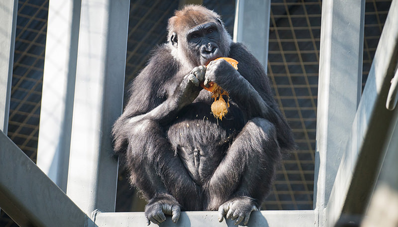 A gorilla named Susie eats a pumpkin in her enclosure at the Columbus Zoo and Aquarium in Powell, Ohio in this October 25, 2014 handout photo provided by the Columbus Zoo on March 31, 2016 (Reuters Photo)