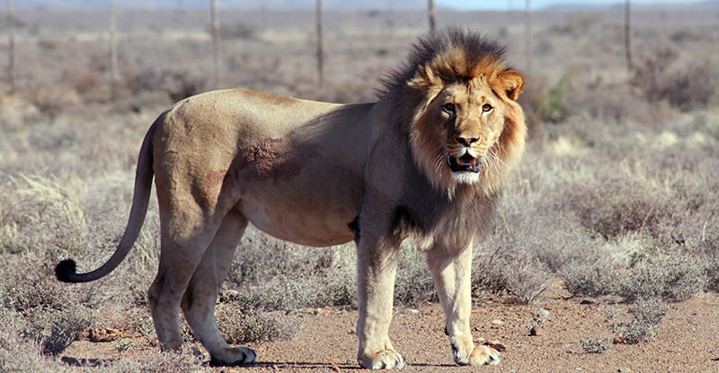 In this July 23, 2015 photo provided by SANParks, Spook the lion is seen after he was recaptured after escaping from the Karoo National Park near Beaufor West, South Africa (AP Photo)