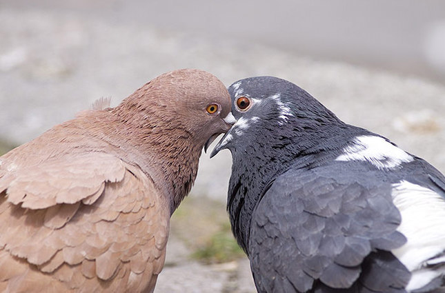 Pigeon reveals smuggler inmate while attempting to meet his lover dove