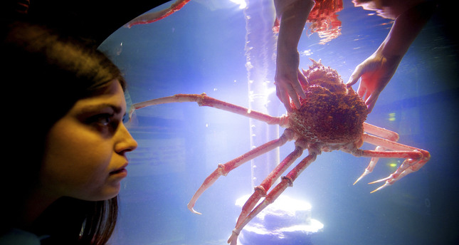 The Japanese spider crab is endemic to Japanese water and is able to live more than 100 years. It has the largest leg span of any adult arthropod, reaching 4.5 meters from claw-to-claw, and it can weigh up to 20 kilograms.