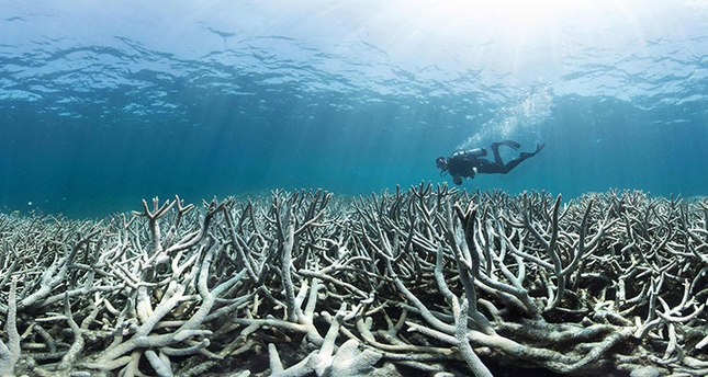 Australia's iconic Great Barrier Reef is suffering its worst coral bleaching ever recorded with 93 percent impacted, scientists said on April 20, 2016. (AFP Photo)
