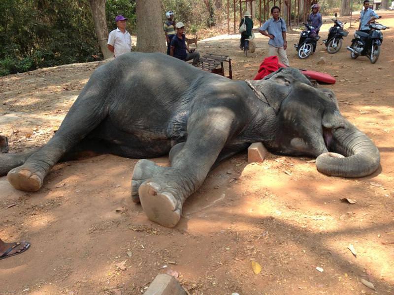 Photo of female elephant that died of heatstroke (Picture: Yem Senok / Facebook)