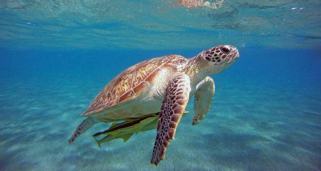 Loggerhead sea turtles begin to lay at İztuzu beach in western Turkey