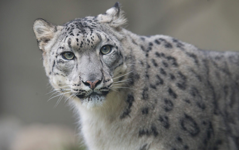 Sarani, a female snow leopard, explores her habitat before her four-month-old cubs were introduced to the public at the Brookfield Zoo on October 7, 2015 in Brookfield, Illinois (AFP Photo)
