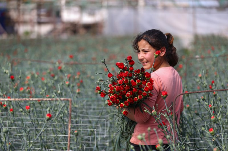 A child poses for the camera with carnations prepared for export from Turkey. (AA Photo)