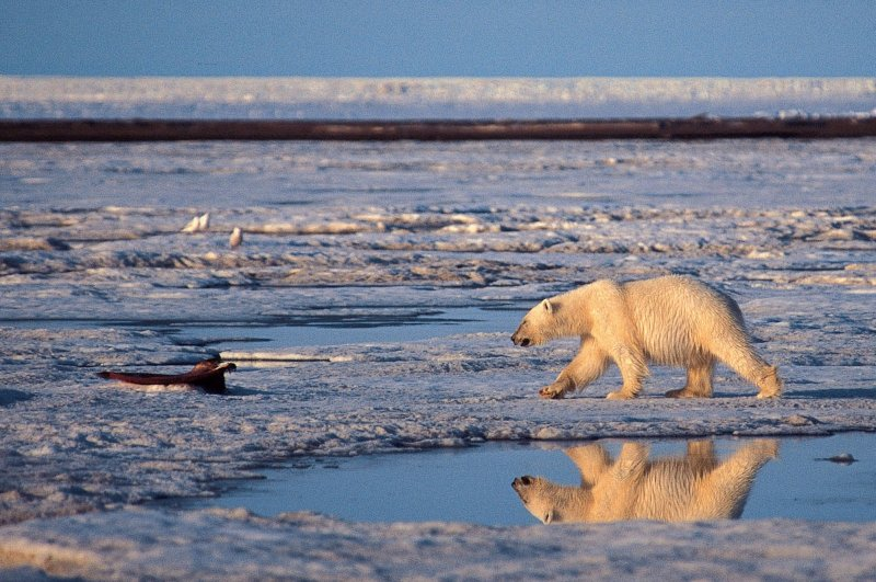 This undated handout photo shows a polar bear in the Arctic National Wildlife Refuge. (AP Photo)
