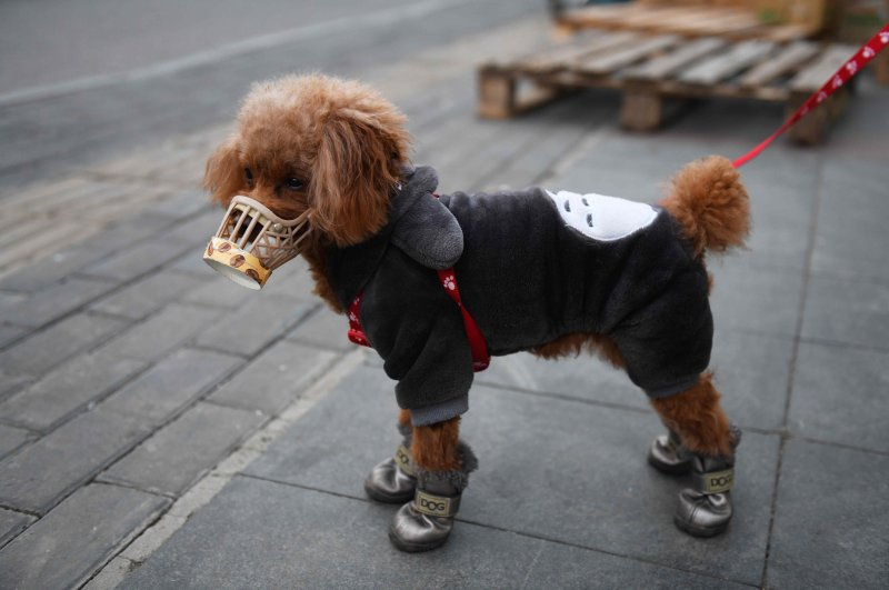 A dog wears a homemade cover over its snout as he stands on a sidewalk, Beijing, Feb. 25, 2020. (AFP Photo)