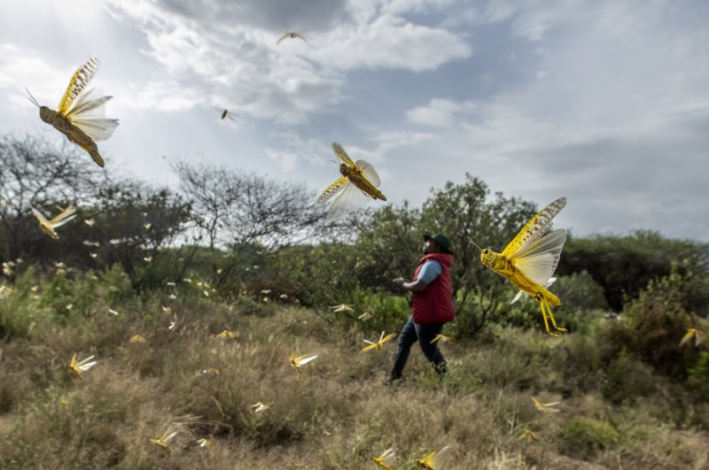 In this photo taken Saturday, Feb. 1, 2020, desert locusts jump up from the ground and fly away as a cameraman walks past, in Nasuulu Conservancy, northern Kenya. (AP Photo)