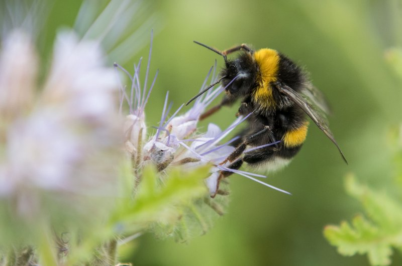 This file photo, taken on July 13, 2017, shows a bumblebee collecting pollen from a flower near Pattensen, northern Germany. (AFP Photo)