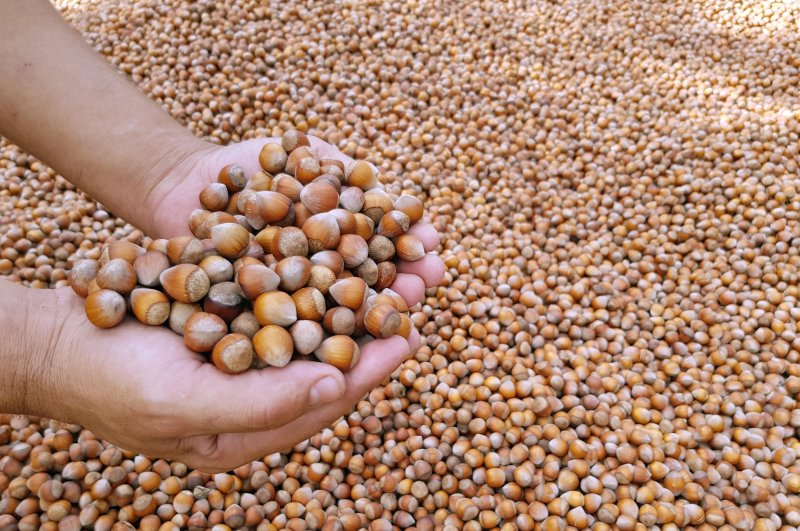 Some 220,724 tons of hazelnut were exported from September 2019 to February 2020. (DHA Photo)