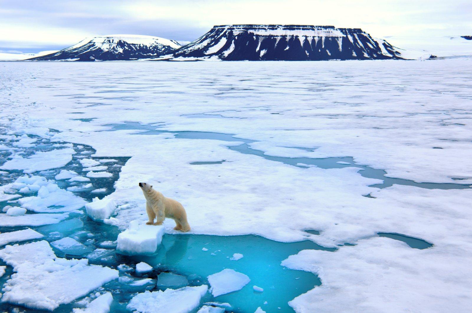Undated photo of a polar bear (Sabah File Photo)