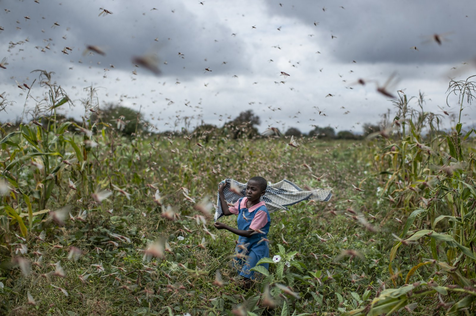 A farmer's daughter waves her shawl in the air to try to chase away swarms of desert locusts from her crops, in Katitika village, Kitui county, Kenya, Jan. 24, 2020. (AP Photo)