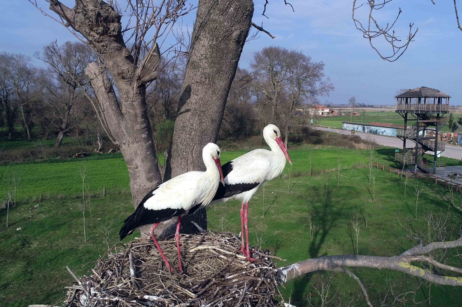 A stork couple stands at one of the many nests at Kızılırmak Delta Bird Sanctuary in Samsun, March 13, 2020. (AA Photo)