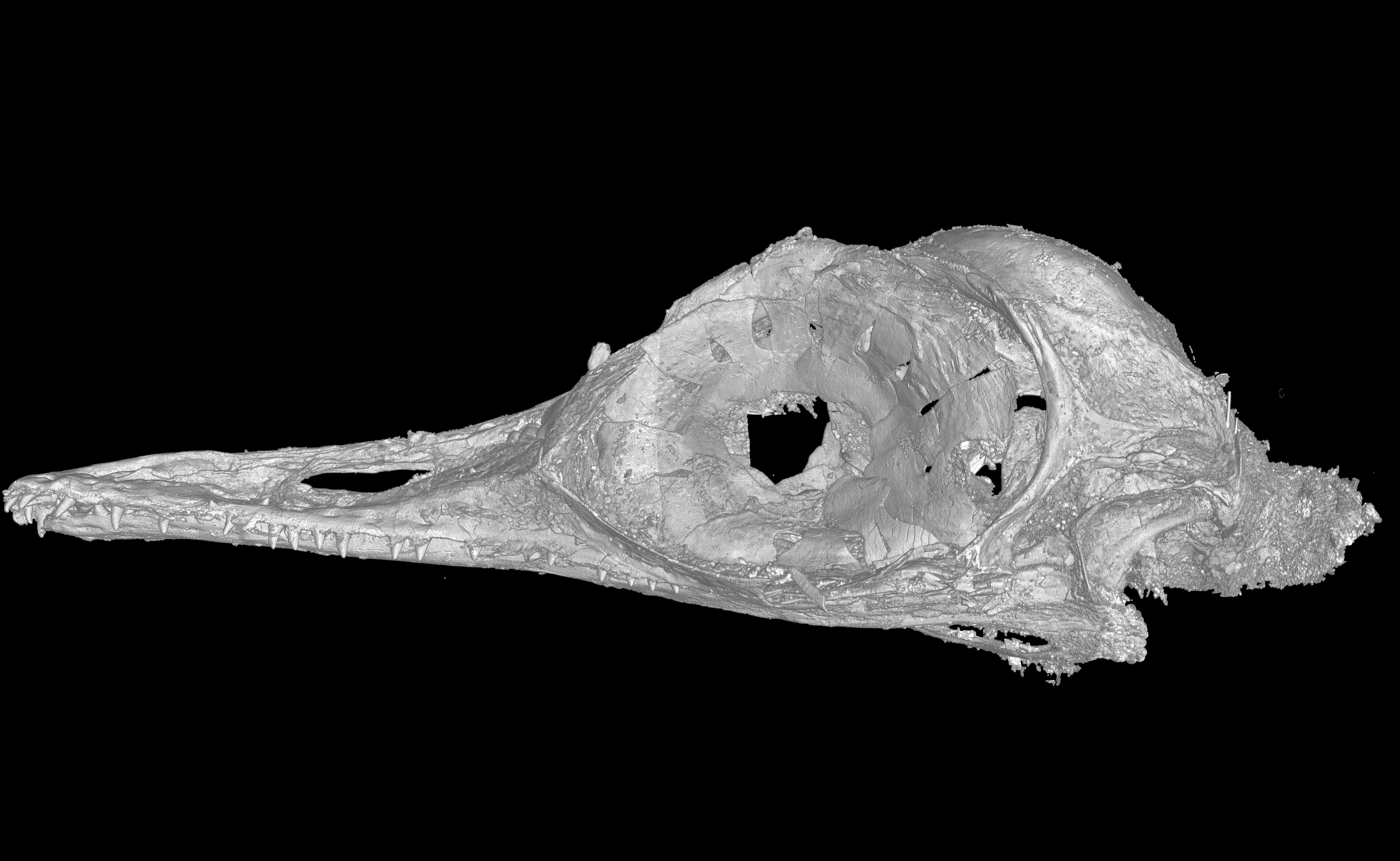 The skull of tiny bird Oculudentavis, whose name means eye-tooth-bird, named for its distinctive features is seen in a CT scan released March 11, 2020. (Li Gang/Handout via REUTERS)