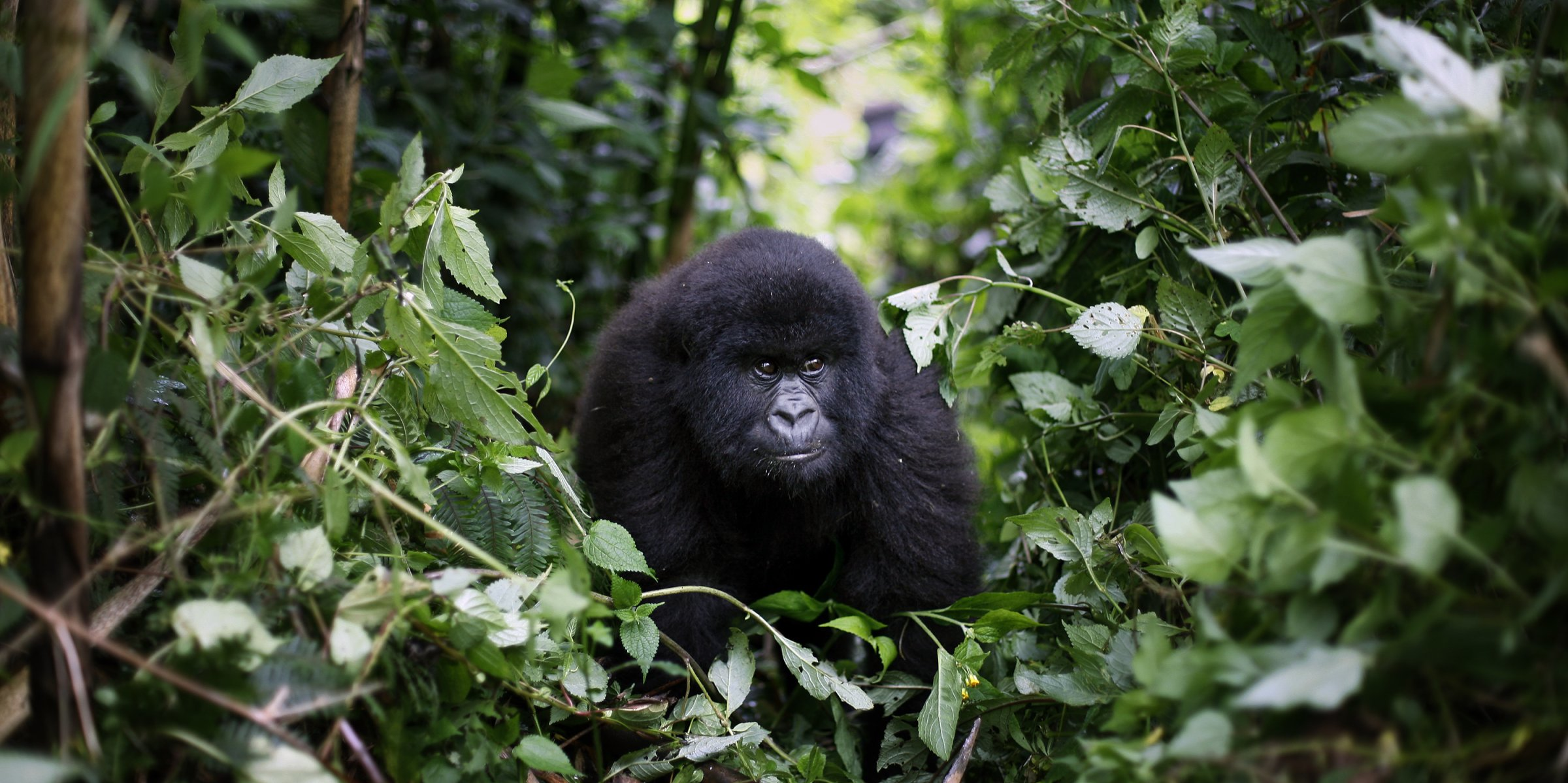 Africa's mountain gorillas also at risk from COVID-19 | Daily Sabah