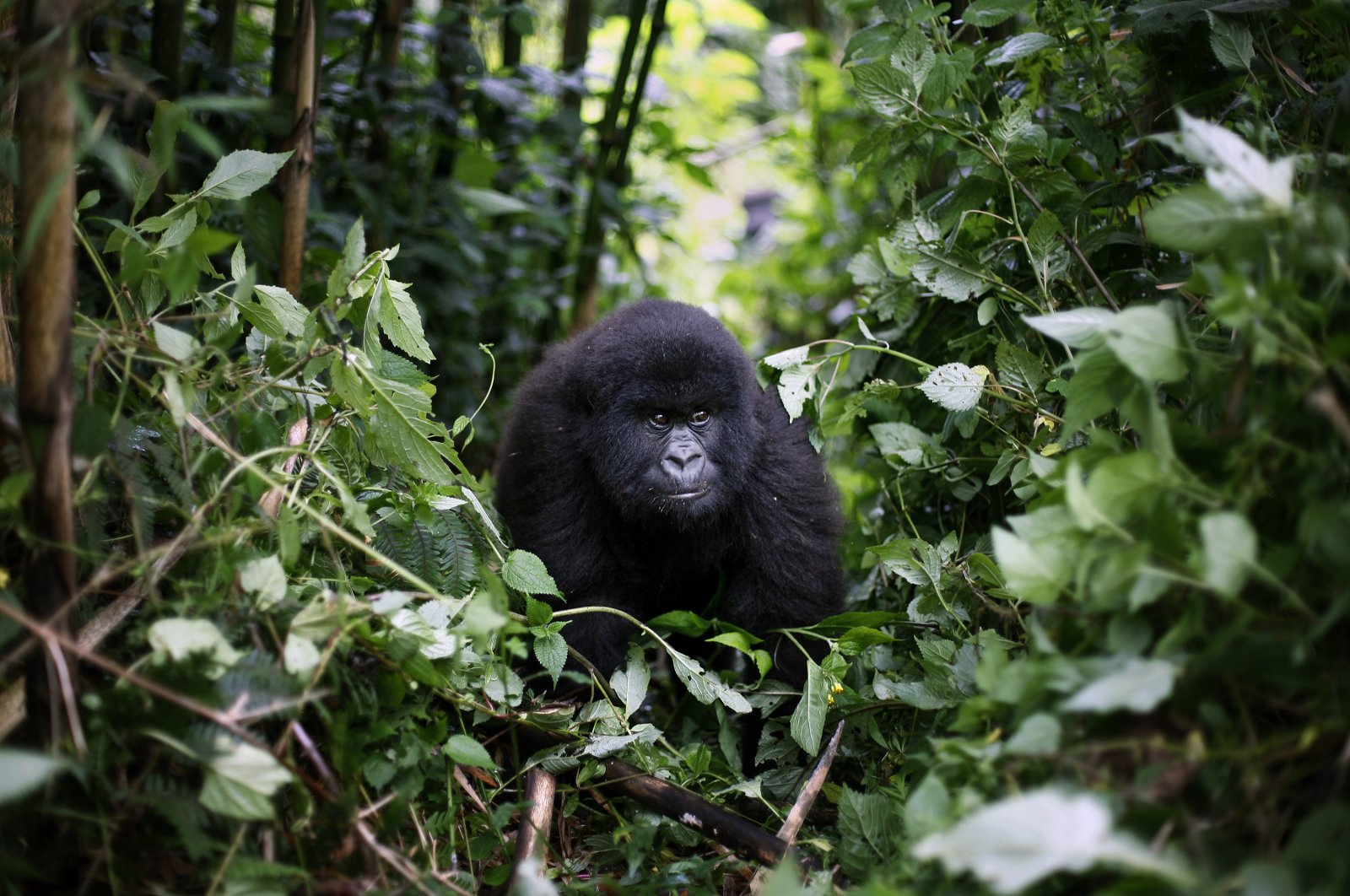 In this photo taken Dec. 11 2012, a young mountain gorilla is seen in the Virunga National Park in eastern Congo. (AP Photo)
